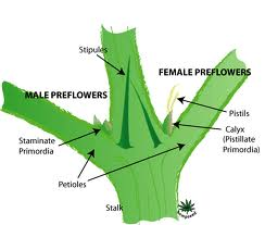 Hermaphrodite Testing and Sexing of Cannabis